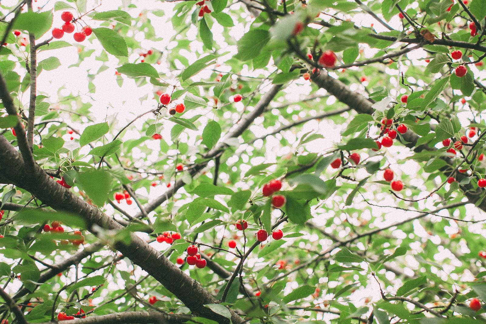 cherrynew-1-2