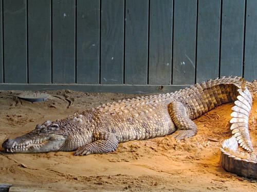Siamese Crocodile On The Sand.