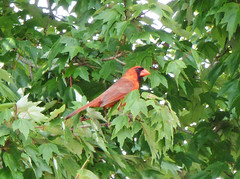 Cardinal hanging out in the tree