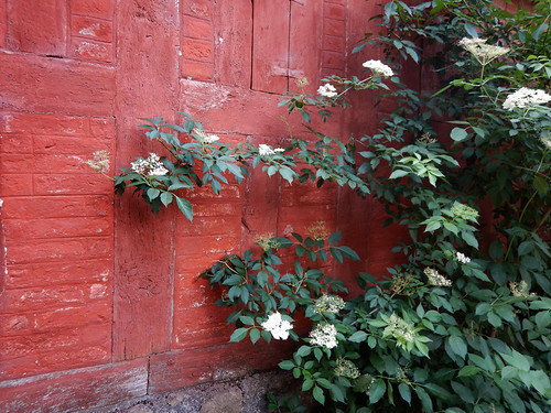 Red wall with a plant, probably an elderberry, at Den Gamle By, recreated villages set in different times, in Aarhus, Denmark