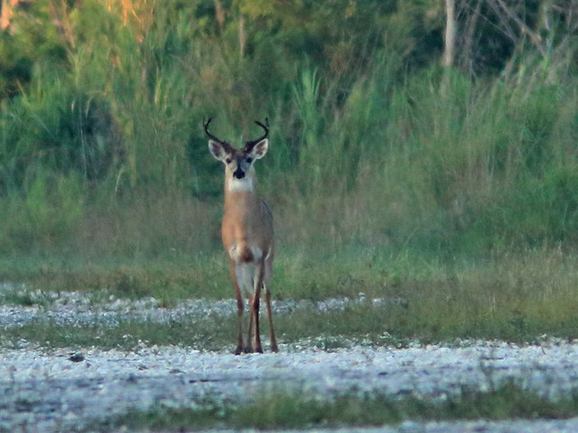 White-tail buck 03-20180715