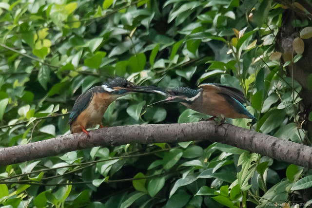 20180716-kingfisher-DSC_6848