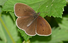 Ringlet (Aphantopus hyperantus) - Photo of Bellou-en-Houlme
