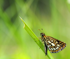 Miroir (Heteropterus morpheus)