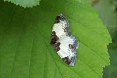 Vaarika-kirivaksik.  Mesoleuca albicillata