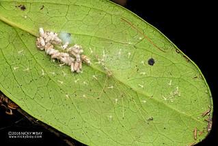 Daddy-long-legs spider (Leptopholcus cf. gracilis) - DSC_2739