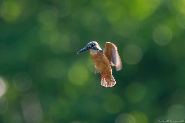 20180701-kingfisher-DSC_5803