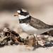 Common Ringed Plover - Sandregenpfeifer