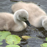 Cute baby swans