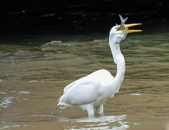 Great Egret doing a little fishing