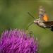 Taubenschwänzchen (Hummingbird hawk-moth) by tzim76
