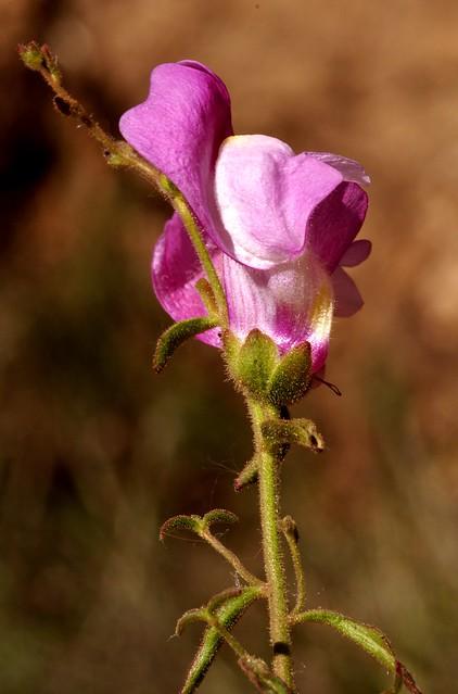 Antirrhinum hispanicum Chav. - VERONICACEAE - Salinas (Málaga) (4)