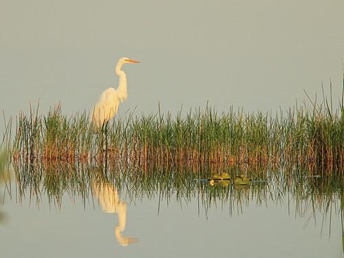 Great Egret reflectiion 01-20180615