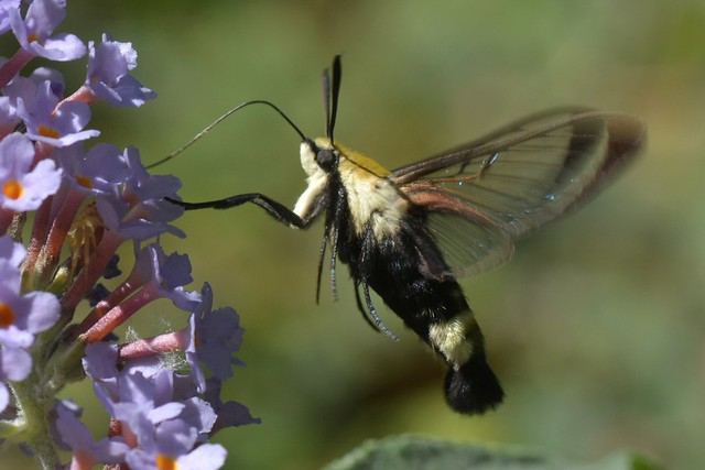 California Clearwing Moth working non-native Butterfly Bush