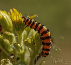 Cinnarbar Moth Caterpillar