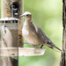 dove_on_feeder-20180624-100