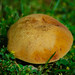 Yellow cracking bolete on a lawn