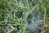 Der Zufall wird dieser Trichterspinne das Mittagessen ins Nest befördern. by heimibe