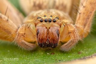 Huntsman spider (Olios sp.) - DSC_3242