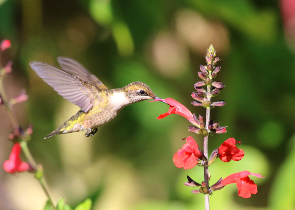 A RUBY-THROATED HUMMINGBIRD sips Salvia nectar at Bok Tower Gardens, Lake Wales, Florida