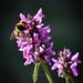 Bee , in my garden