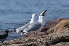 Herring gull dinner