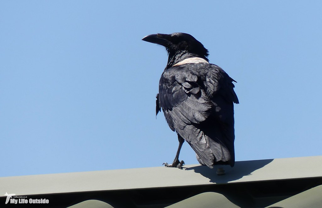P1160093 - Pied Crow, Pembrokeshire