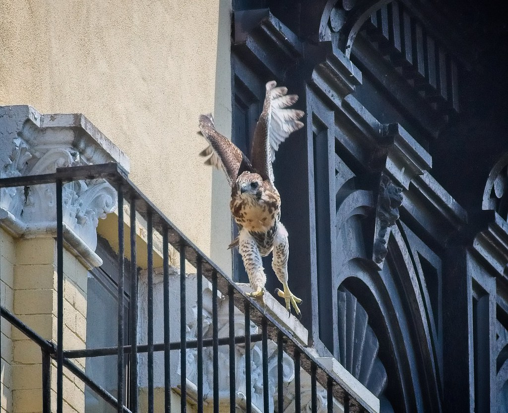 Tompkins fledgling A2 frolicks on a fire escape