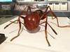 Photo:写真は巨大化模型ですが、実寸大のヒアリの姿・赤の混じった微妙な色合いを知れるのはとてもいい。 By mah_japan