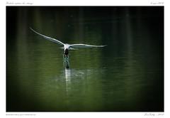 Sterne pierregarin | Sterna hirundo |  Common Tern - Photo of Laps
