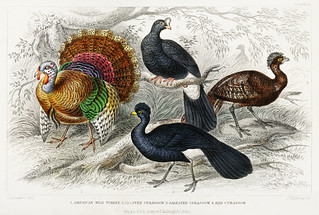 American Wild Turkey, Crested Curassow, Galeated Curassow, and Red Curassow from A history of the earth and animated nature (1820) by Oliver Goldsmith (1730-1774). Digitally enhanced from our own original edition.