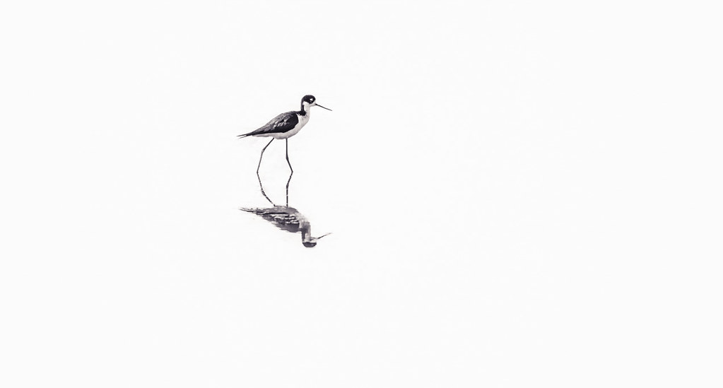 20180619_high_key_avocet_001