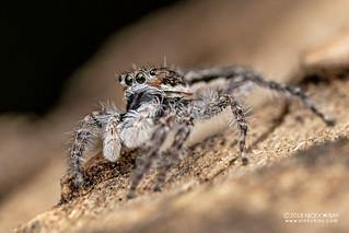 Jumping spider (Menemerus zimbabwensis) - DSC_4898