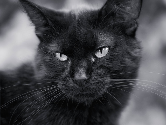 Black cat, Olympus E-M1, Sigma 60mm F2.8 DN | A