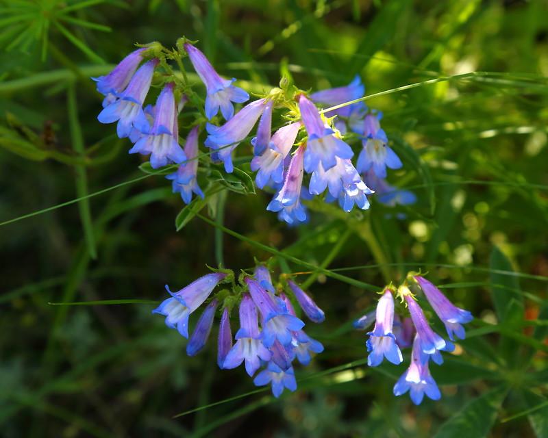 IMG_6295 Streamside Bluebell (Mertensia ciliata)