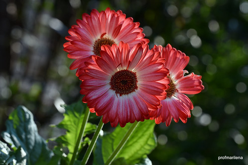 1-DSC_5397 marilena's red, backlight in my garden
