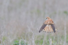 Nankeen Kestrel  ( every feather on show )