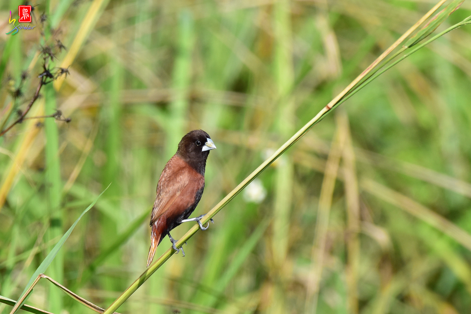 Chestnut_Munia_3809