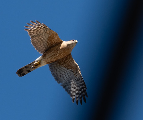 coopers_hawk_in_flight-20180617-100