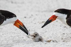 Pair of Black Skimmer with a Fish, Chick & 2 Eggs