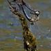 White-faced Darter (Leucorrhinia dubia)