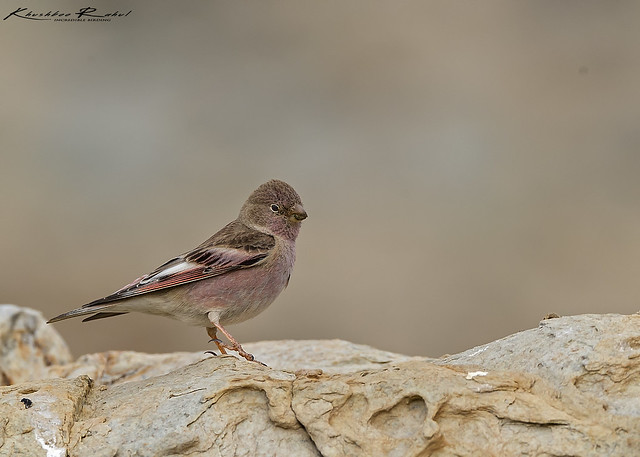 The Mongolian finch Bucanetes, Canon EOS-1D X MARK II, Canon EF 800mm f/5.6L IS