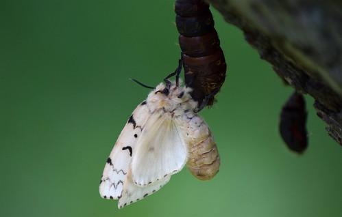Gypsy Moth Female