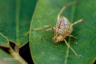 Mirror comb-footed spider (Thwaitesia sp.) - DSC_5680