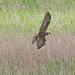 Marsh Harrier (f)