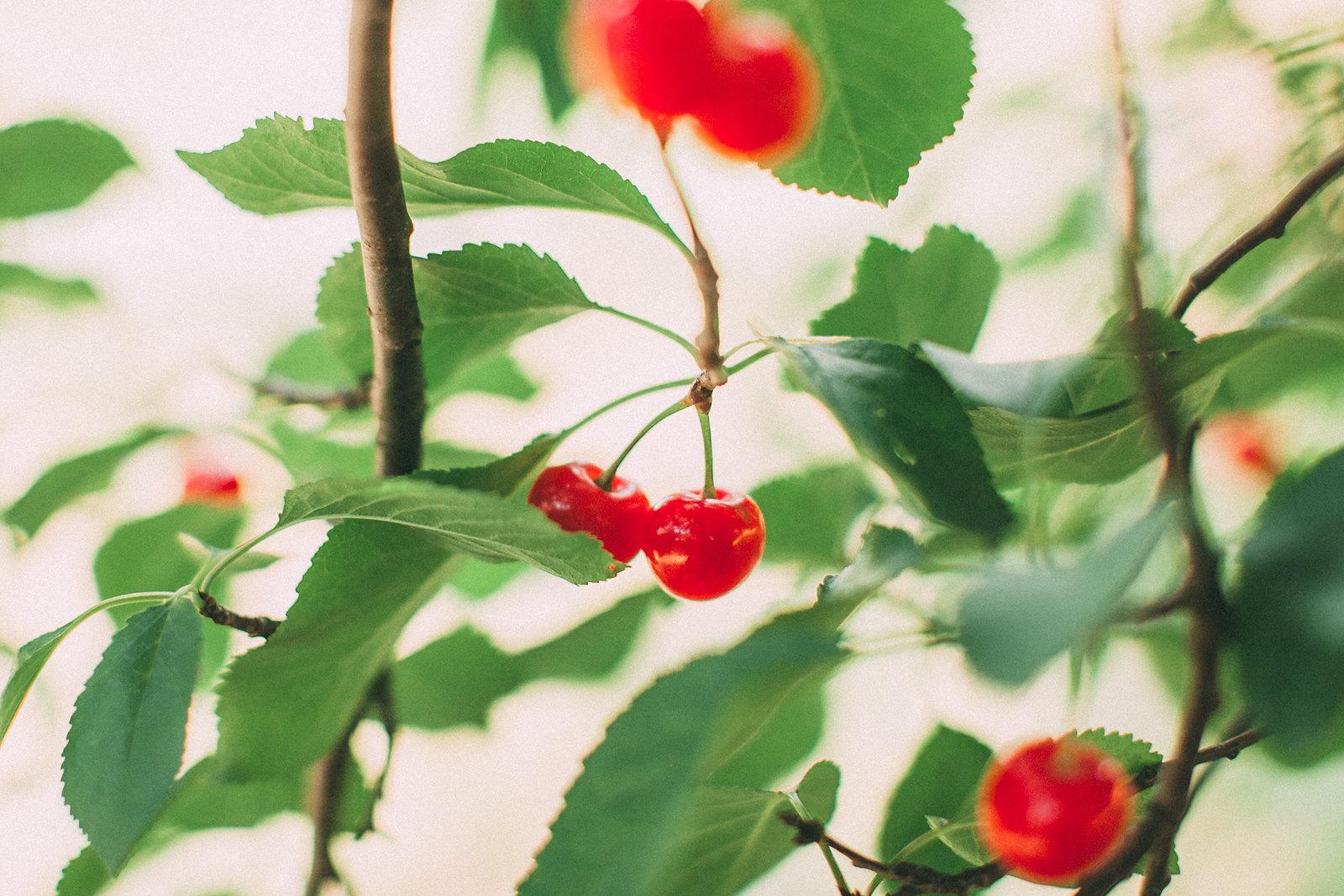 cherrynew-5