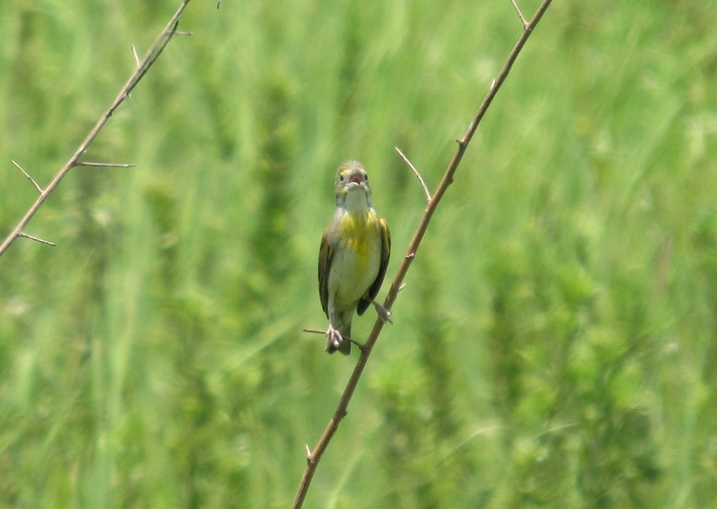 Dickcissel Reacting