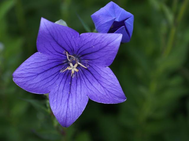flower and bud, Olympus E-PL5, Sigma 60mm F2.8 DN   A