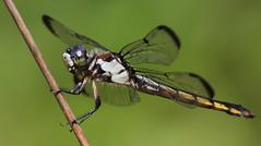 Great Blue Skimmer (female)- Weekiwachee Preserve
