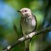 Grå flugsnappare (Muscicapa striata) by gardelinhenrik